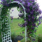Clematis Growing on Arbor
