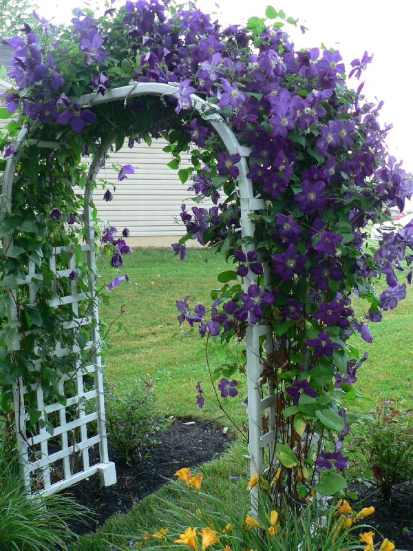 Clematis on arbor for Fast growing flowering vines for fences