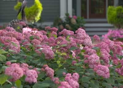 zone 5 flowering shrubs. Black Bedroom Furniture Sets. Home Design Ideas