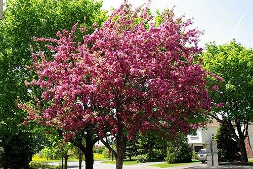Zone 5 flowering trees crabapple tree in bloom mightylinksfo