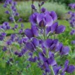 Baptisia False Indigo