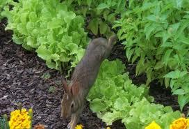 Bunny Veggie Garden