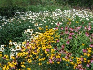 Cantigny Daisies Black-eyed Susan and Coneflower