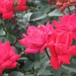 Easy Care Roses