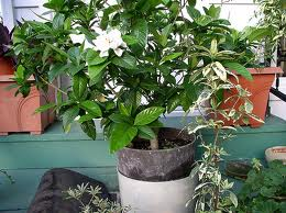 Gardenia Pot