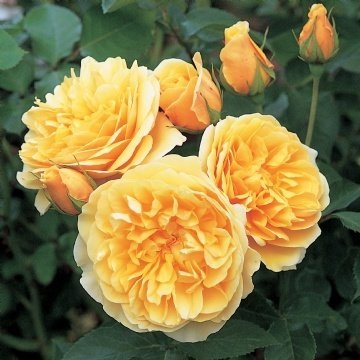 Dealing with rose diseases and pests by Flower Chick