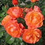 Selecting Hardy Roses