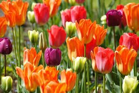 Tulip Display
