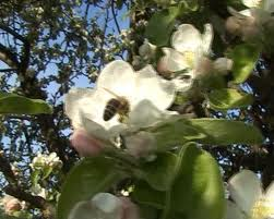 Bee Apple Tree