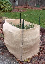 Burlap Protection For Evergreens