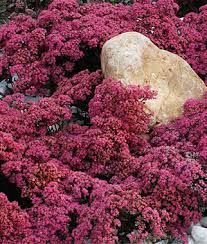 'Dazzleberry' Sedum