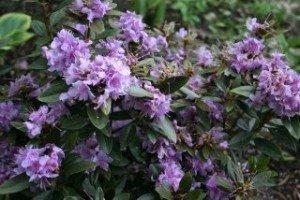 Faisa Rhododendron