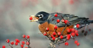 Robin Eating Berries