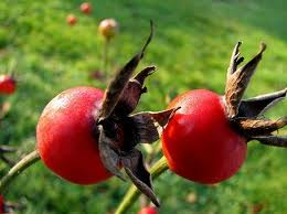 Rose Hips Close Up