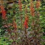 Black Truffle Cardinal Flower