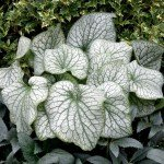 Brunnera_Alexanders_Great_21