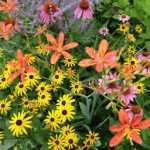 Black eyed susan coneflower russian sage