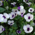 Cataline Grape o Licious Torenia