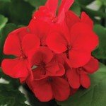 Geranium Calliope Scarlet Fire