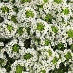 White Knight Alyssum