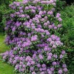 Rhododendron Lavender