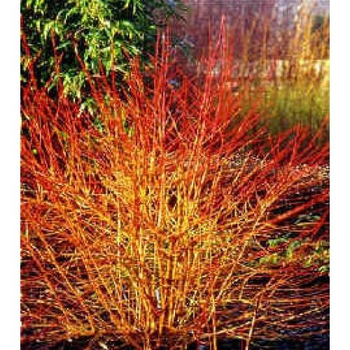 'Winter Flame' on Spring Meadow Nursery