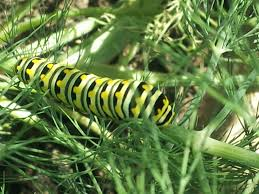 Swallowtail Butterfly Caterpillar on Dill