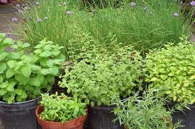 Herbs in Containers