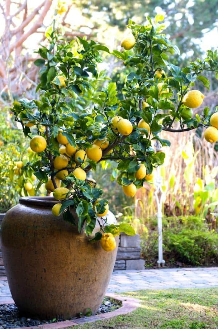Indoor Lemon Tree by FlowerChick.com