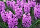Hyacinth Blooming by FlowerChick.com