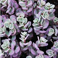 FlowerChick.com/sensational-succulents-for-zone-5-and-zone-6