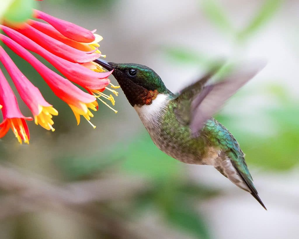 Flowers That Attract Hummingbirds by FlowerChick.com