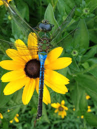 Dragonfly on a black-eyed susan flower