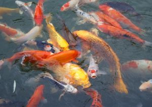 Koi at Anderson Japanese Gardens Rockford, IL by Flower Chick