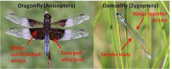 How to tell dragonflies from damselflies