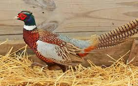 MacFarlane Pheasants Janesville WI