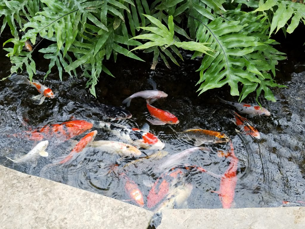 Nicholas Conservatory Koi Rockford by Flower Chick