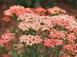 Yarrow 'Apricot Delight' to attract dragonflies and butterflies