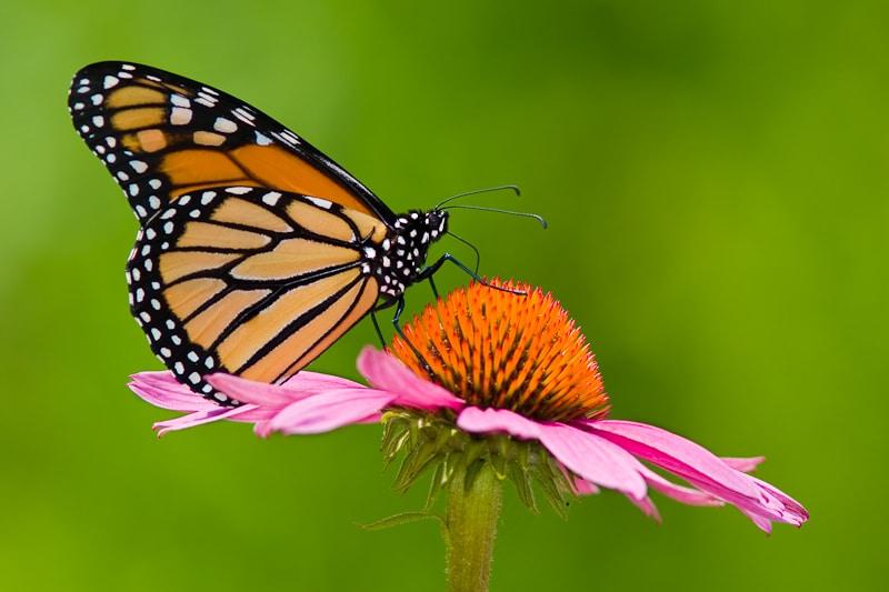 Flowers That Attract Butterflies by FlowerChick.com