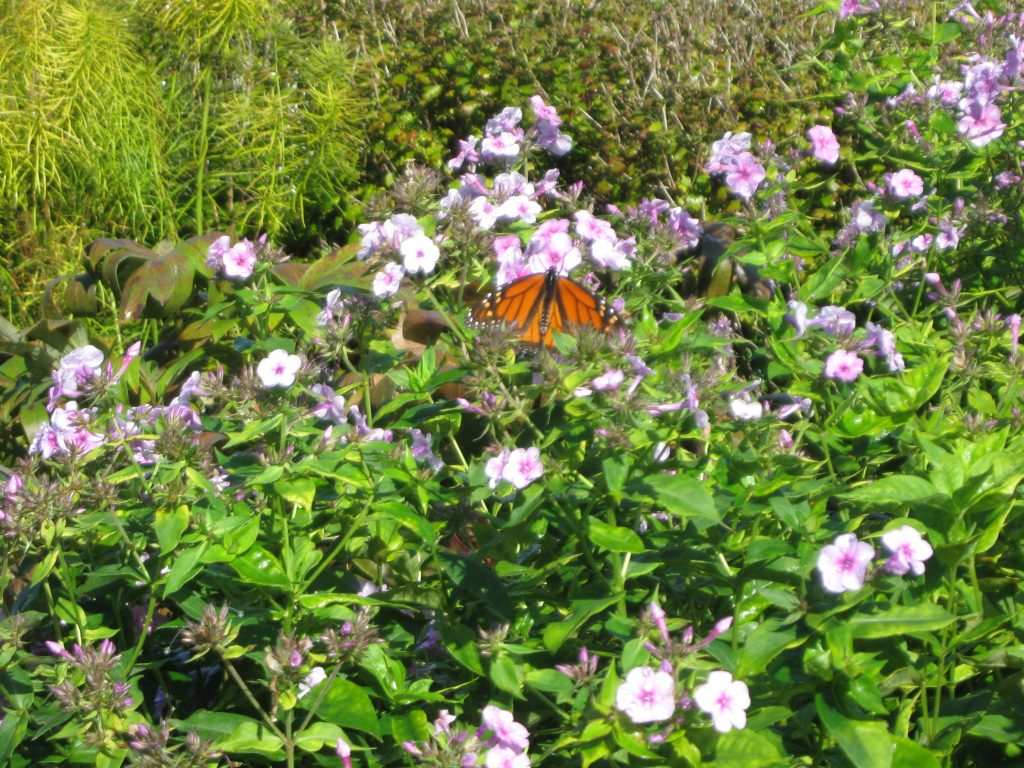 Monarch Waystation at Boerner Gardens by FlowerChick.com