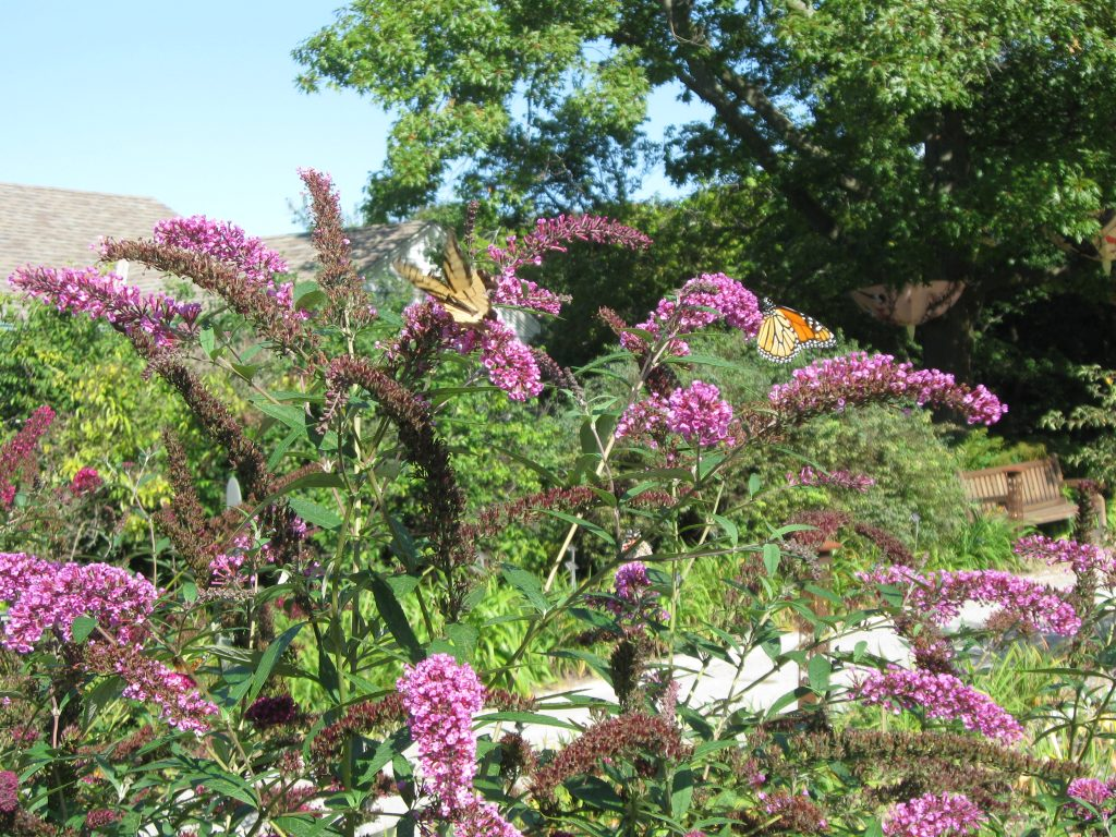 Butterfly Bush at Boerner Botanical Gardens by FlowerChick.com