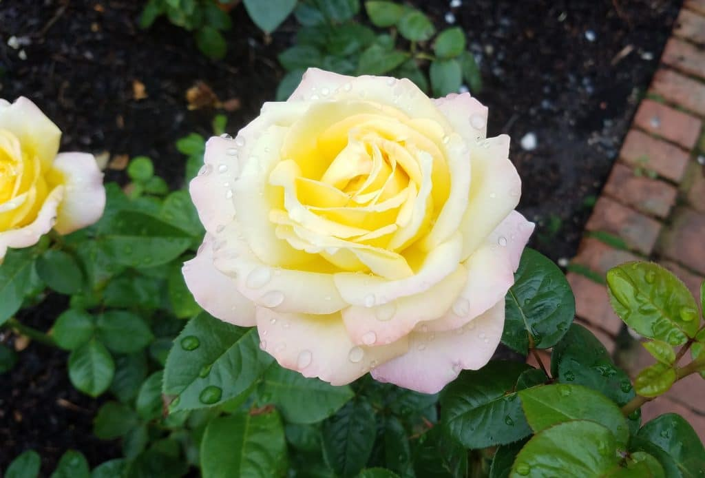 Peace rose at the Chicago Botanic Garden by FlowerChick.com