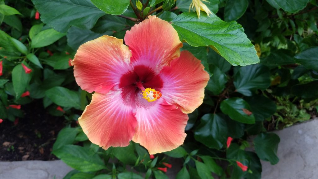 Beautiful hibiscus at Garfield Park Conservatory by FlowerChick.com