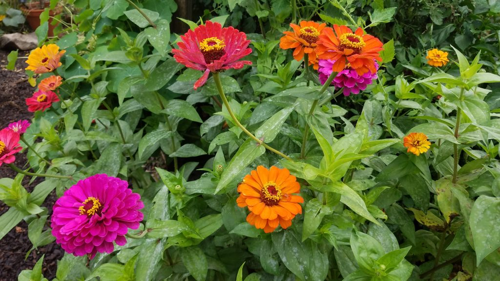 Colorful zinnias at Chicago's Garfield PArk by FlowerChick.com