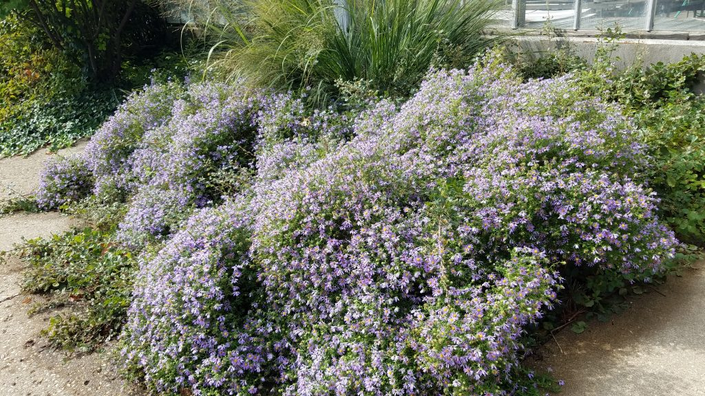Fall blooming Asters at Luthy by FlowerChick.com