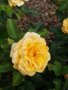 Winterizing Roses in Zone 5 by FlowerChick.com