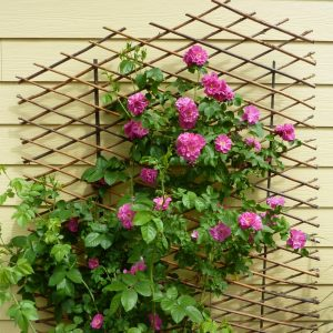 How to winterize climbing roses by FlowerChick.com