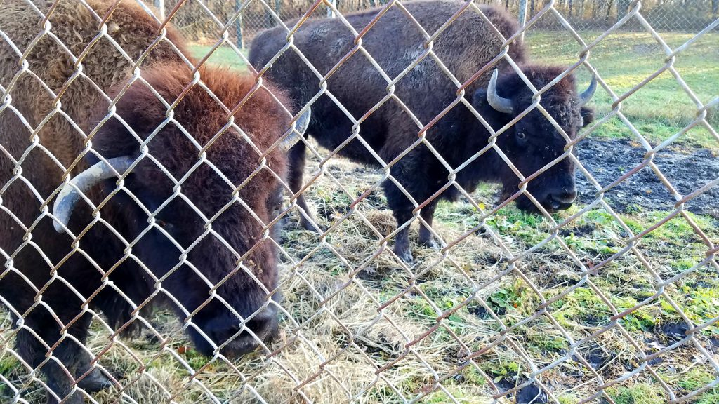 Bison at Buffalo Rock State Park by Flower Chick Nov 2019