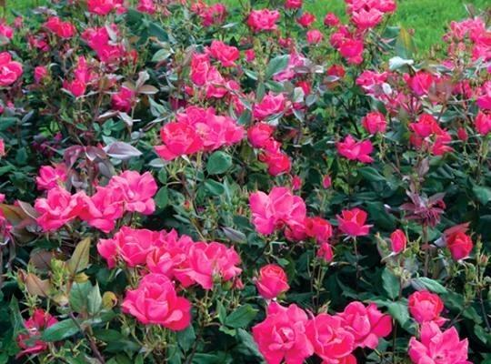 How To Winterize Roses by FlowerChick.com