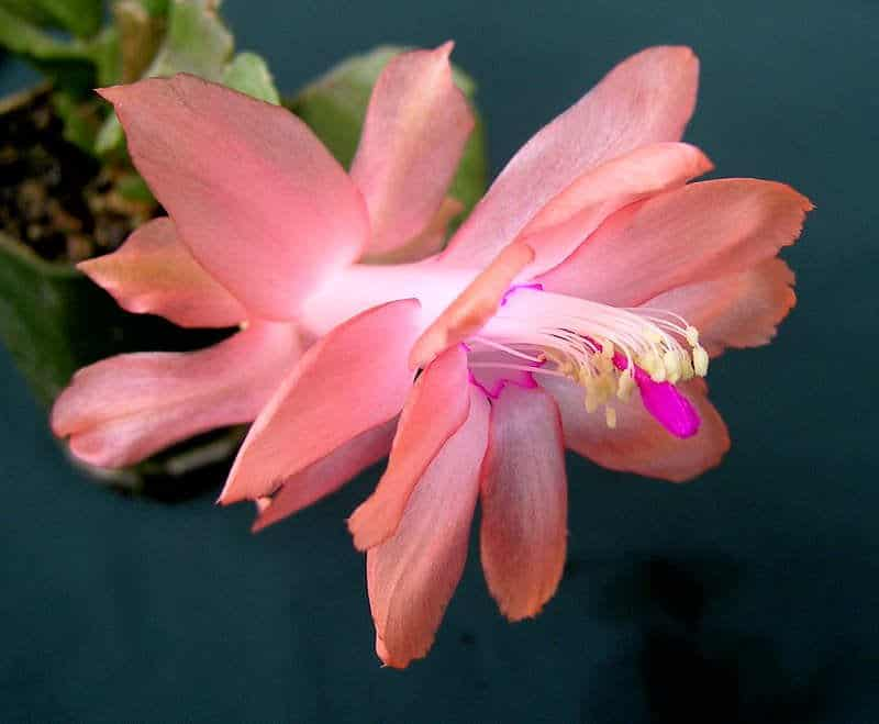 Prickly the Thanksgiving Cactus Blooming by FlowerChick.com